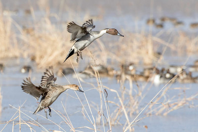 Northern pintails, drake and hen