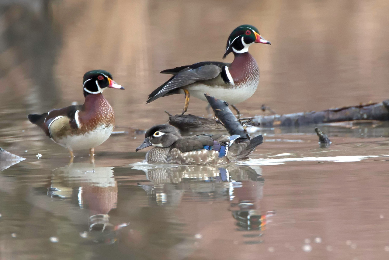 Wood Ducks, drakes and hen