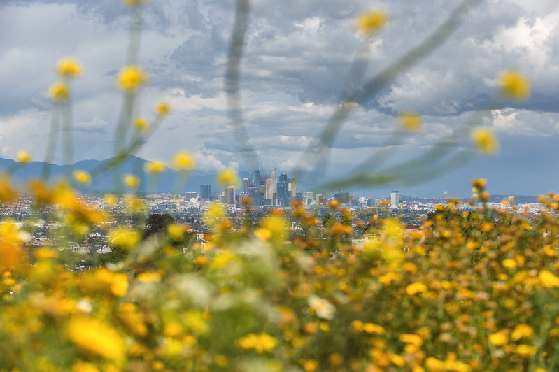 Downtown Los Angeles skyline with wildflowers