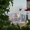 Hummingbird in flight in front of downtown Los Angeles skyline