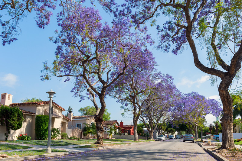 Jacarandas blooming on a street in Leimert Park.