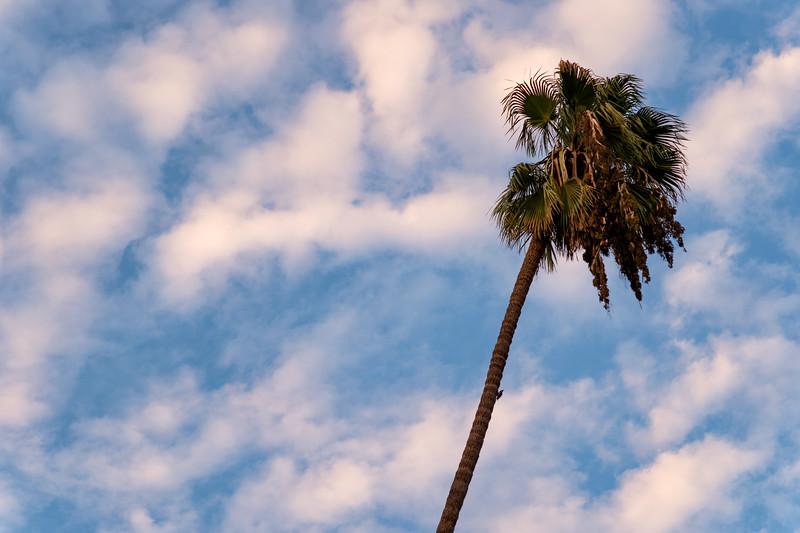 Palm tree, Pasadena, California
