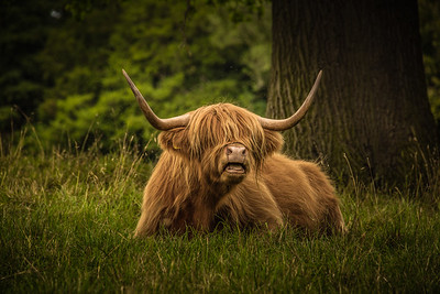 Highland Cow - Hirsel Estate