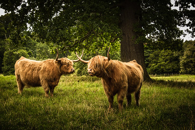 Highland Cows - Hirsel Estate
