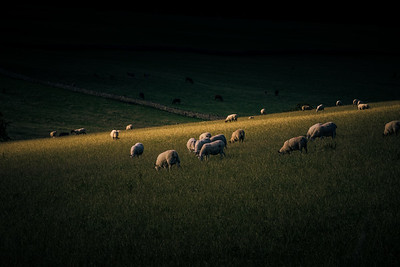 Sheep in the Scottish Borders