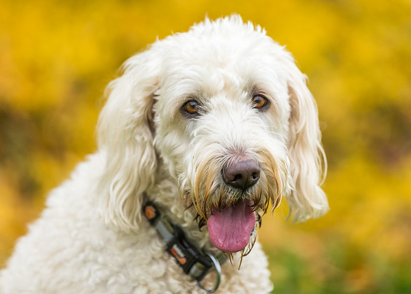Tilly the Labradoodle