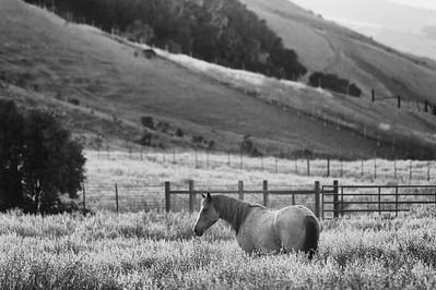 Wild horses at Return to Freedom sanctuary near Lompoc, California.