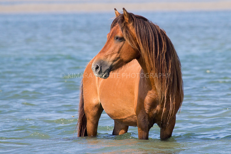 Wild horses in the Outer Banks of North Carolina