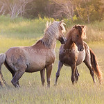 Wild Horses of the Outer Banks NC :