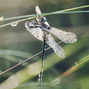 dragonfly dew covered