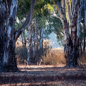 Kangaroos in the river red gum forest