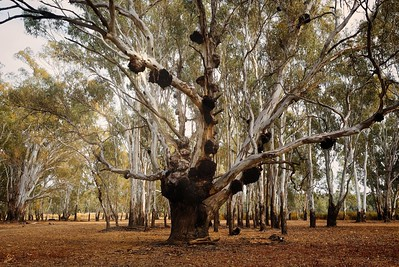 river red gum