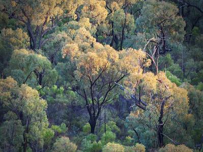 sunrise in Pilliga forest