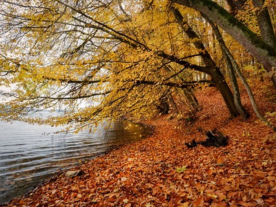 golden trees at the lake
