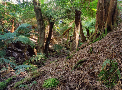 tree fern gully
