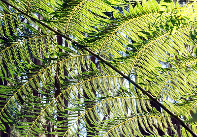 tree fern leaf