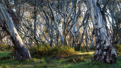 morning in the Eucalyptus forest