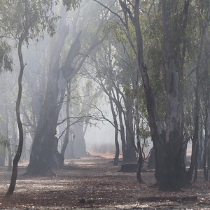 morning mist in the river red gum forest