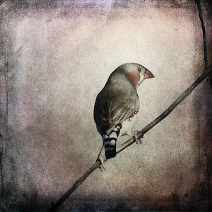 #TinyDreamImages Zebra Finch