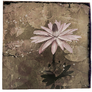 #TinyDreamImages Water Lily