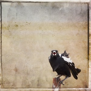 #TinyDreamImages Magpie