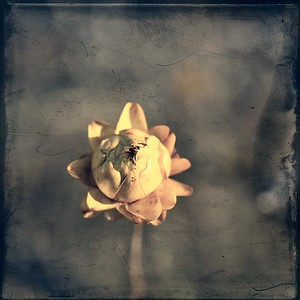 #TinyDreamImages Outback Flower