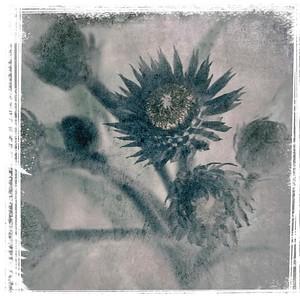 #TinyDreamImages Dark Flower