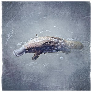#TinyDreamImages Platypus