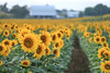 Sunflower Fields by the Farm