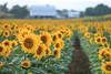Sunflower Fields by the Farm