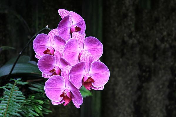 Orchid X Doritaenopsis 'Dorado' Flower