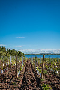 IMAGES OF FOX HARB'R RESORT  PICTURED: Young grapes planted for resort