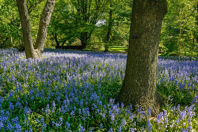 Bluebells at the Brooklyn Botanic Gardens