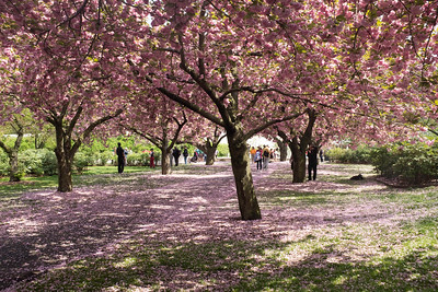 Strolling on the Cherry Esplanade, Brooklyn Botanic Gardens