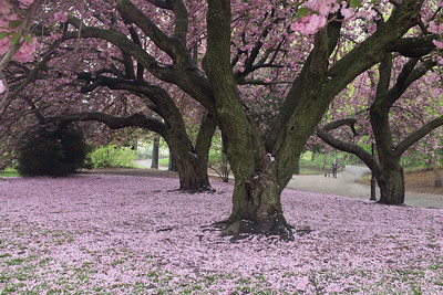 Cherry Blossoms, Brooklyn Botanic Gardens