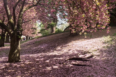 Cherry trees and blossoms, Brooklyn Botanic Gardens