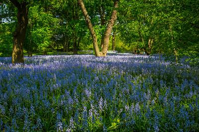 Field of bluebells, Brooklyn Botanic Gardens