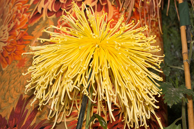 Yellow Golden Splendor Spider Chrysanthemum