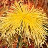 Yellow Golden Splendor Spider Chrysanthemum