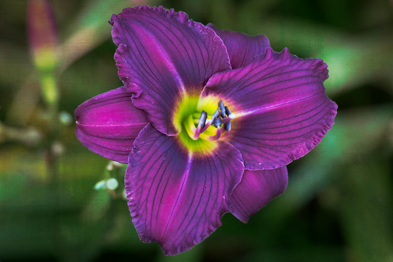 Houdini daylily