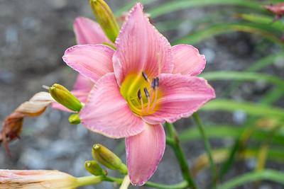Corryton Pink daylily