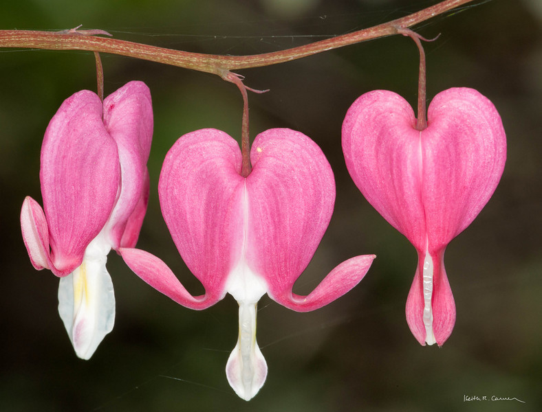 Bleeding Hearts in springtime
