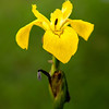 Yellow flag flower (Iris pseudacorus)