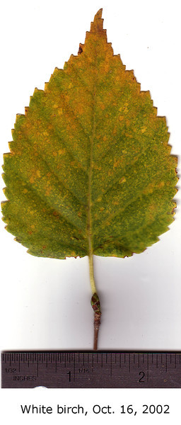 White Birch leaf, fall foliage