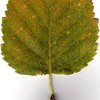 White Birch leaf, fall foliage