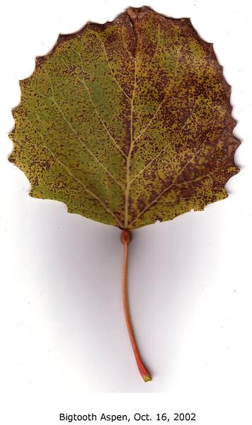 Bigtooth Aspen leaf, fall foliage