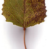 Bigtooth Aspen leaf, fall foliage