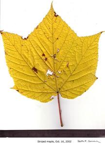 Striped Maple leaf, fall foliage