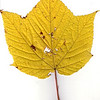 Striped Maple leaf, fall foliage