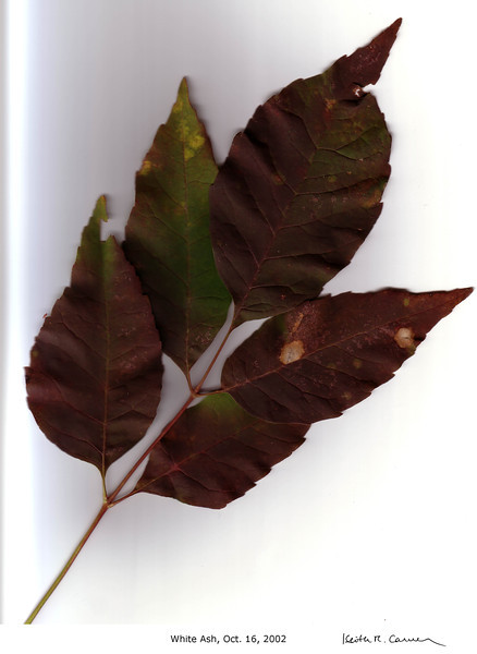 White Ash leaf, fall foliage